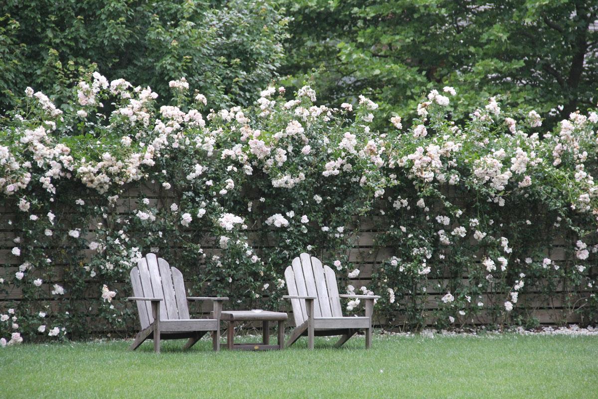 pink-new-dawn-rose-custom-privacy-wall-2